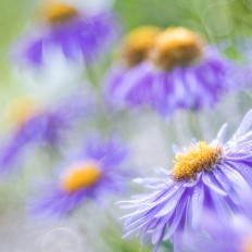 - Purple drops -