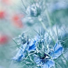 - Little blue -