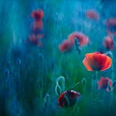 - Bright poppy -
